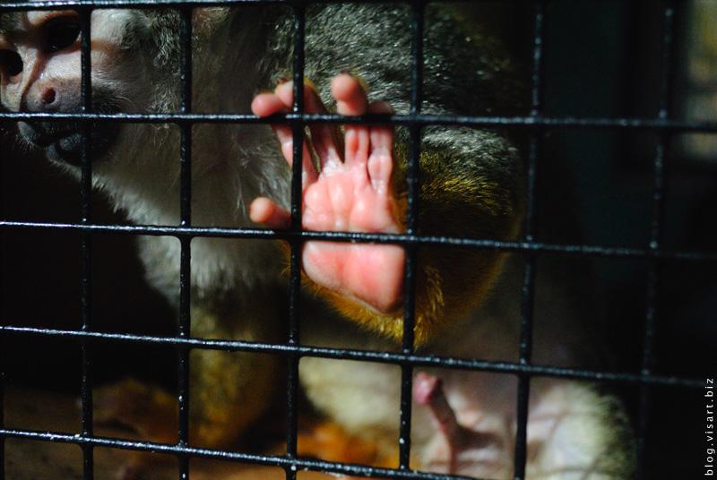 Из жизни маленьких зелёных обезьян