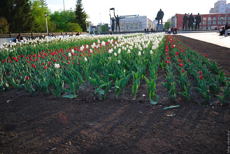 Новосибирск высаживает тюльпаны