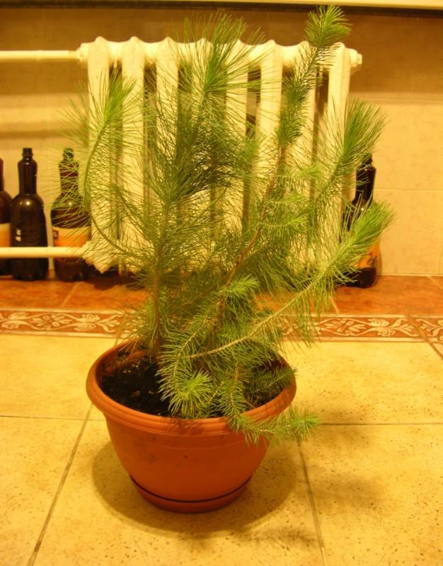 ростки иерусалимских сосен